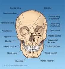 Human Anatomy Skull Bones Human Anatomy Skull Anatomy Front View Anatomy Of The Skull