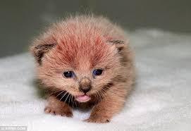 pink kitten pink panther u0027s fur changed colour