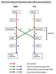 Pathway Of Light Through The Eye Pupillary Light Reflex Wikipedia
