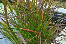 ornament grass karley stunning ornamental grasses