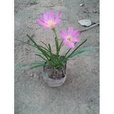 Lily Plant Black Lily Plant Indoor Plants Rajahmundry Sri Srinivasa