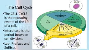 Mitosis Worksheet Phases Of The Cell Cycle Cell Growth And Division Ppt Download