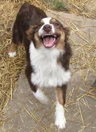 mini australian shepherd 4 months logingram instagram web viewer dogs pinterest pup aussies