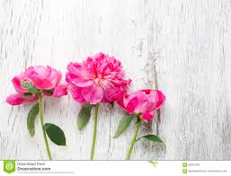 The Pink Peonies by Stunning Pink Peonies On White Rustic Wooden Background Stock