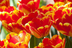 thanksgiving point presents 12th annual tulip festival gephardt