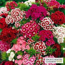 sweet william flowers sweet william seeds dianthus barbatus seeds high country gardens