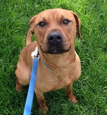 american pitbull terrier rhodesian ridgeback mix spring into love event 2015 animal care league