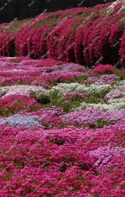 creeping thyme ground cover seeds designs