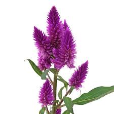 celosia flower feather celosia flower