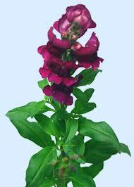 Flowers Information - snapdragon flower information snapdragon cut flower flower