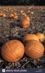 pumpkins crop grown for halloween events in farmers field ready