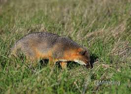 friends of the island fox