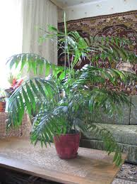 areca palm plant care planting growing cutting pruning