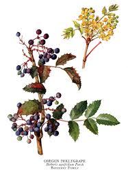 oregon grape antimicrobial high in berberine berberine produced