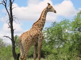 last game drive in kruger u003d giraffes galore peace love u0026 giraffes