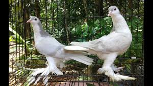 my silver bar lahore pigeons