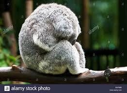 a very wet koala sleeps in the rain shower stock photo royalty