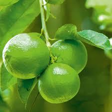 citrus tree lime