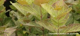 wholesale plants buy perennials woody ornamentals vines