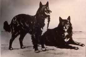 belgian sheepdog association early belgian sheepdogs belgian sheepdog club of america