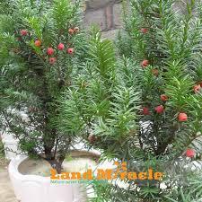 5 seed pack 100 taxus chinensis ornamental plant bonsai