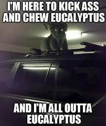 Angry Koala Meme - koala meme is very angry without its eucalyptus