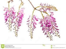 pink wisteria flowers stock image image 4711601