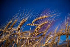 plants native to kansas ksu researchers staying ahead of wheat blast disease