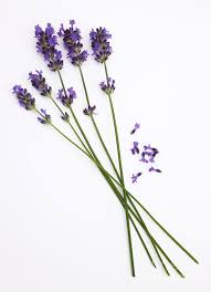 lavender flowers delicate lavender flowers on white photograph by rosemary calvert