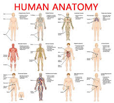 Full Body Muscle Anatomy Anatomy Organ Pictures Anatomy Of The Human Body Top Collection
