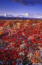 brilliant colors of denali national park alaska wallpapers 99 best flowers of alaska images on pinterest alaska photo