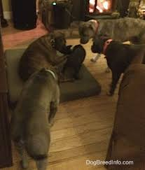 american pitbull terrier vs german shepherd raising a puppy mia the blue nose american bully pit 13 months old