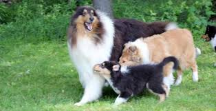 puppies for sale pa collie breeder pa val hi collies collie puppies for sale in pa