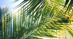 palm branches for palm sunday guidelines for use of palm fronds on palm sunday the malta