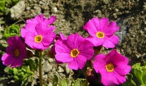 primula suffrutescens forum topic north american rock garden