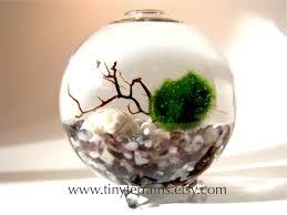 marimo moss ball globe terrarium free 2nd marimo ball several