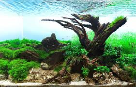 Aquascape Layout Aquarium Warfare Welcome To Competitive Sport Of Aquascaping At
