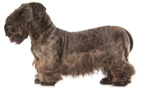 cesky terrier dog breed information pictures characteristics