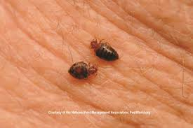 What Does Bed Bugs Eggs Look Like Bed Bug Biology Bed Bug Size Bed Bug Color U0026 Anatomy Pestworld