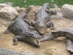 crocodile breeding centre kurukshetra wikipedia