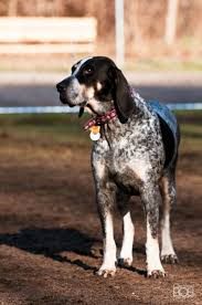 bluetick coonhound names the 20 best images about bluetick coonhound on pinterest
