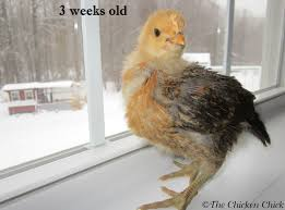 the chicken when to move from brooder to chicken coop