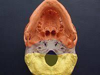 Base Of The Skull Anatomy Base Of Skull Wikipedia
