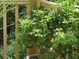 winterharte pflanzen balkon welcher bambus fr kbel sichtschutz pflanzen balkon kbel fr balkon