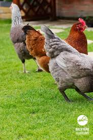 30 best new hampshire chickens images on pinterest new hampshire