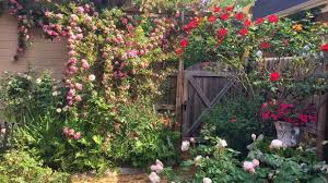 garden family grow roses like a redneck southern living