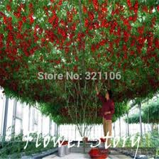 discount tomato trees 2017 tomato seeds trees on sale at dhgate