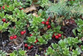 native plants alberta nordegg alberta flowery prose