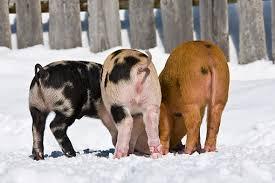 pig tails animal stock photos kimballstock