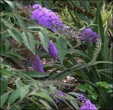 Shrub With Fragrant Purple Flowers - woody ornamentals heritage flower farm antique flower plant